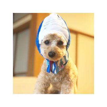 . . サメのかぶりもの🦈 . . .  #といぷーどる #トイプードル #ぷーどる #プードル #といぷ #犬 #愛犬 #ビビ #アップリコット #犬のいる暮らし #犬のいる生活 #いぬすたぐらむ #トイプードル部 #わんこ部 #犬バカ部 #ふわもこ部 #いぬのきもち #アニコム #ペット #家族 #🐾 #🐶 #❤️ #dog #pet #poodle #toypoodle #family #love #ビビの記録 