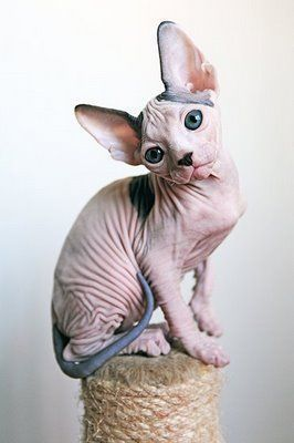 "What a cute baby Sphynx cat! Although a ""hairless"" breed, they actually can have a very fine hair coat and care must be taken to ensure good skin health :) #SphynxCat #sphynxcatscare"