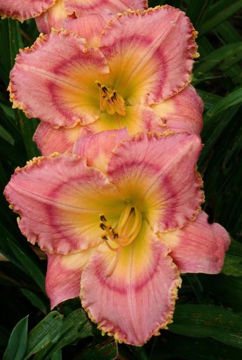 Image result for daylily Barbara Dittmer