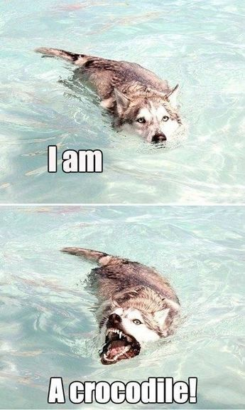 Crocodile Husky is Evolving