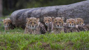 Cheetah Cubs Now on Exhibit at Safari Park