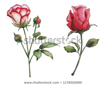 Flowers watercolor illustration. rose .Isolated on white background. Clipping Path.