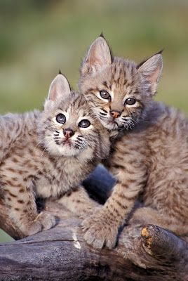 Many links, and the cutest Lynx!
