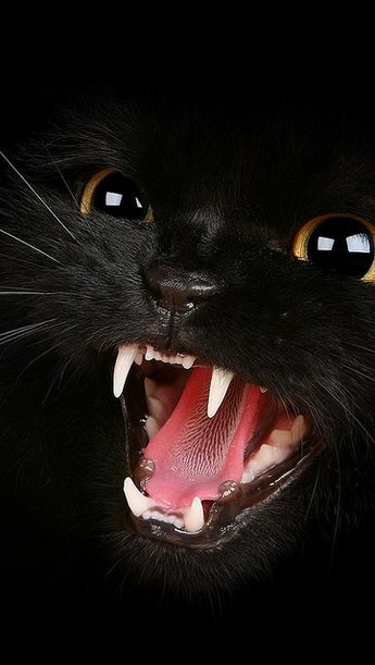 kitten_black_eyes_aggression_teeth_meow_1184_640x1136