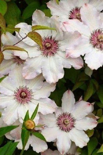 25 Pink White Clematis Seeds Perennial Giant Flower Garden Plant Spring Summer Vine Blooming Plumeri