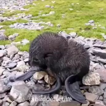 "animal.home 😙😙😍😙🐈🐕🐭🐶🐼😙😙😍😙 on Instagram: ""Adorable newborn Antarctic fur seal pup 😍 #animalhome"""