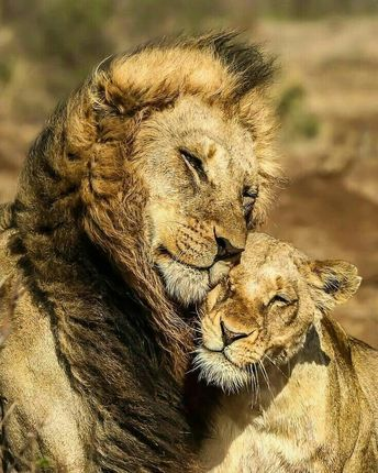 ❤💪 🐾 🐾 🐾 🐾 #lion #lions #lioness #lionking #safari #bigcats #bigcat #africanamazing #kingofthejungle #wildlifphotoghraphy #lioncub #tiger…