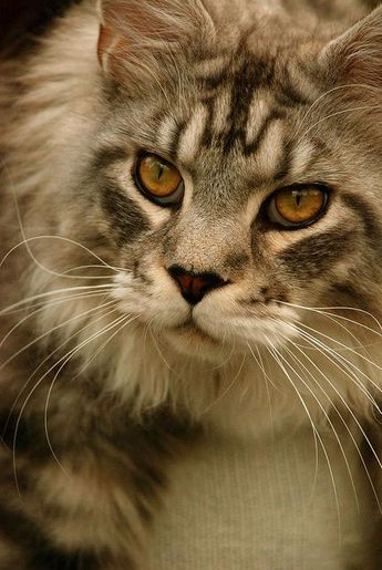 Male vs. Female Maine Coons (Picking the Gender