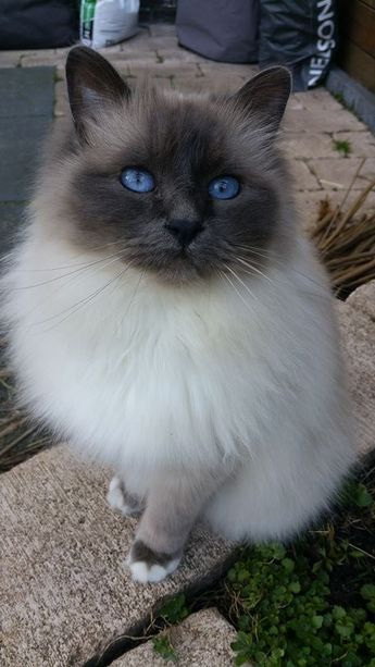What a beautiful cat with beautiful blue eyes <3
