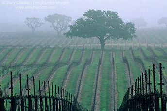 Wine country -Morning fog over vineyard rows and oak trees,   in early spring, near Paso Robles,   San Luis Obispo County, California #pasorobleswineries