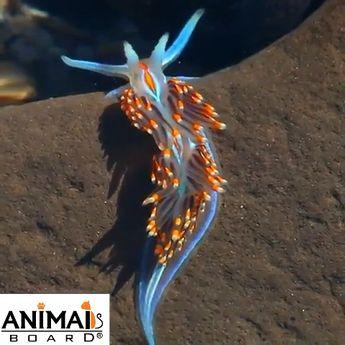 Amazing & colourful sea slug a real beauty of sea. Please follow Animals Board for more beautiful videos.