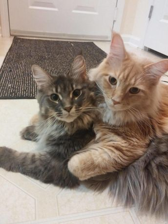 17 Pics Of Maine Coon That Might Literally Kill Me If I Look At Them Too Long