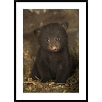 Global Gallery 'Black Bear 7 Week Old Cub' Framed Photographic Print