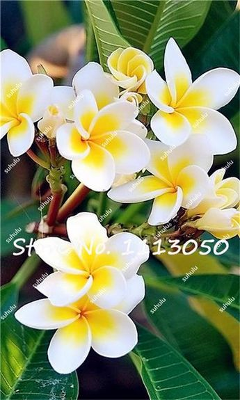 200Pcs/Bag Plumeria ( Frangipani, Hawaiian Lei Flower ) Seeds, Exotic Flower Seeds for Home Garden