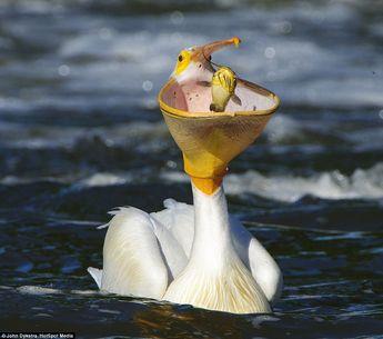 Hungry pelican opens bill like a basketball net and SLAM DUNKS catfish