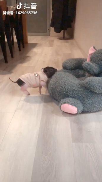 Cute Pig - Source: Tiktok [Thank you very much!] - Click Visit To Watch More Videos #pig #piggy #cutepig #adorablepig