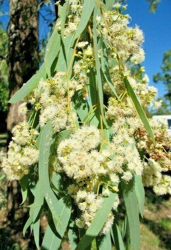 """Eucalyptus coolabah """"coolibah"""" 10 SEEDS NATIVE TREE Koala food"""
