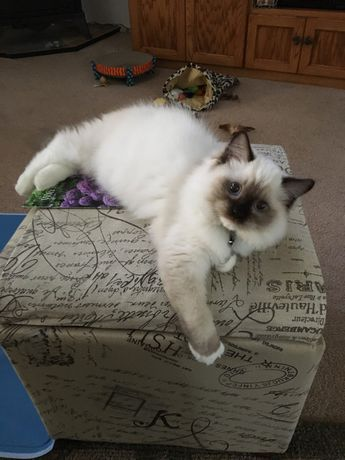 Oliver - Ragdoll Kitten of the Month