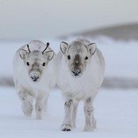 Who Knew Reindeer Could Get This Fluffy?