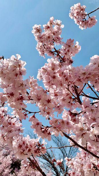 Sakura cheery blossom in Japan