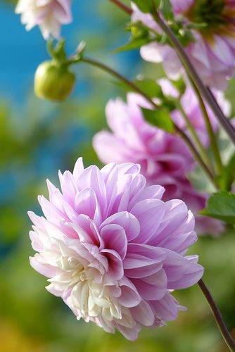 Dahlias for at least the bridal bouquet? This one looks too pink though. White, cream or variegated (blush/white).
