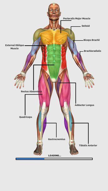 Muscular Anatomy Game