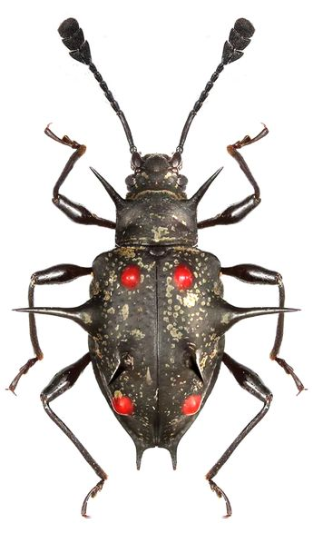 Cacodaemon spinosus -- beautiful -- almost looks like it is made out of metal