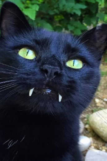 Black Cat With Vampire-Like Fangs Steals A Woman's Heart Right After Rescue!