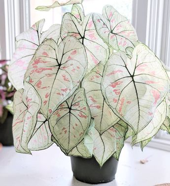 Moonlight Caladium