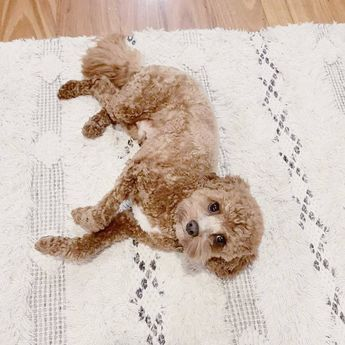 Meeting @leo.toycavoodle's style standards is RUFF work, but looks like he's given our Ivory Handwoven Wool Rug his tick of approval✔️ #MyZanuiStyle