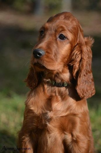 Irish Setter Pup ~ Classic Look