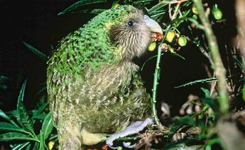 With Only 147 of World's Fattest Parrots Left, This Year's Baby Boom Has Left Researchers Positively Squawking