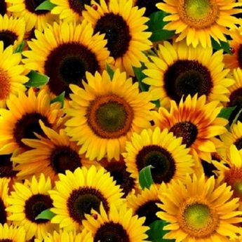 ff188a825ae56 Sunflower Bright Yellow Sunflowers in Full Bloom Cotton Fabric