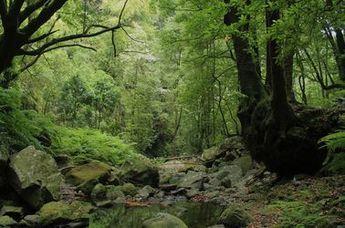 La forêt Laurissilva
