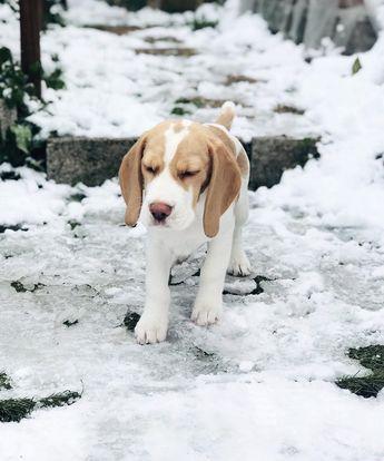 « C'etait ma première sortie à la neige et maman m'a dit de fermer les yeux très fort pour faire un vœu ! » ________________________________________________________ #snow #babydog #beagle #lol #socute #latelierderoxane #instapic #jevousaime #teamgourmandise