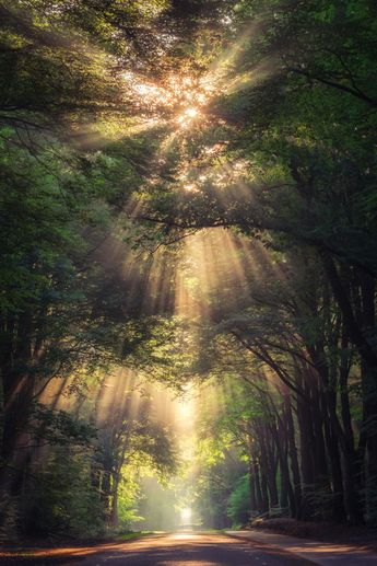 Collection Of Amazing Sunrays In The Forest In The Netherlands