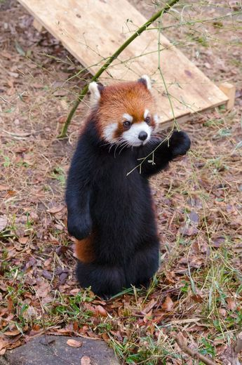 Red panda in a black trench coat?