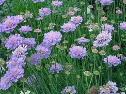 Scabiosa or the pin cushion fower.  Very hardy perennial.  Cut back in the fall.