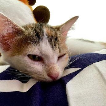 [メイちゃん回顧録 No.02] . 我が家にきて3日目のメイちゃん もう家に馴染んでましたね . ってか、はじめから警戒心もなく 家の中の探検を楽しんでたのを 思い出しました . 我が家に来るべくしてきた メイちゃんなんだと思ってます^ ^ . . #ねこ  #ネコ  #猫  #cat  #みけねこ  #三毛猫  #ねこずき  #猫好き  #猫がいる生活  #猫がいる暮らし  #猫のいる生活  #猫のいる暮らし  #猫大好き  #猫がいる幸せ #ニャンスタグラム #にゃんスタグラム  #保護猫 #猫部 #にゃんこ #癒やし #愛猫 #可愛い猫 #猫好きさんとつながりたい  #ねこ写真  #家猫  #回顧録  #気持ちいいね