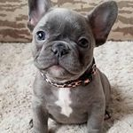 Instagram Photo by Best Of French Bulldog 🐕 (@best_french.bulldog.pictures