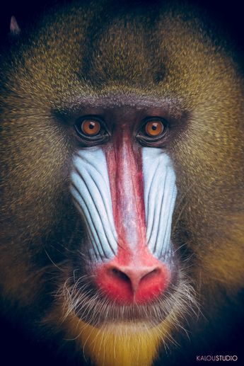 63. Mandrill: 'That monstrous voodoo mask of a face - all flaming lips, yellow fangs, scarlet nose and vivid blue snarl - is the stuff of lurid nightmares.' Read more in 100 Bizarre Animals www.bradtguides.com