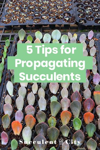 5 Tips for Propagating Succulents