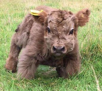 Baby Yak ..too cute!