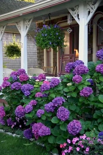 Hydrangeas stunning in this purple color. They look amazing landscaping the front of this house.