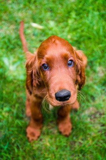 Obedient puppy of irish setter by Lukas Rebec on 500px