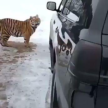 #Nature #Wildlife #Tiger #Tigers #conservation #climatechange #climateemergency #family #love #picoftheday #DogsNeedHolidaysToo #WoofAdvisor #PetTravel #fridayfeeling #tgif #weekend