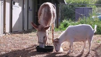 Sad Goat Gets a New Lease on Life After Being Reunited With His Donkey Best Friend