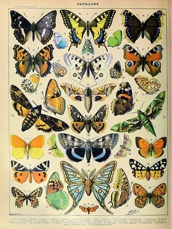 Vintage exotic butterfly french Illustration Instant Digital Download