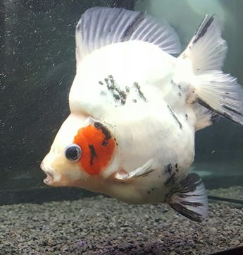 Ryukin showing off his mating tubercles