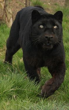 Black Leopard #leopards #cats #wildlife #animals